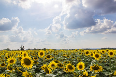 Hot Summer (AKfoto.fr) Tags: summer sun hot soleil sunflower t tamron chaud tournesol 175028 haraucourt
