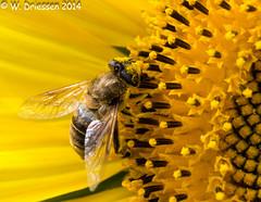 Bee on sunf