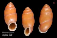 schistoloma funiculata philippines 25mm (MALACOLLECTION Landshells Freshwater Gastropods) Tags: shells philippines collection snails schnecken mollusca gastropoda palawan mollusks molluscs escargots gastropods landsnails terrestres coronisland gasteropodes landmollusken landschnecken landshells schistoloma pupinidae schistolomafuniculata