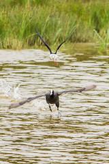 poursuite chasse blanche et foulque macroule_ (leroilezard52) Tags: nature oiseau sauvage poursuite foulquemacroule parcdumarquenterre leroilezard52 baiedesommejuillet2014 casseblanche