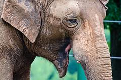 Louisville Zoo (slapshots) Tags: elephant animals zoo nikon wildlife os louisville sigma50500 d7000 nikond7000