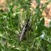 Agapanthia cardui