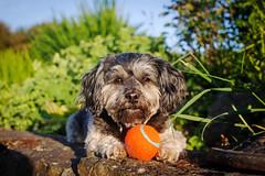 Keeping it Close. (Kirstyxo) Tags: dog holiday cute wales ball teddy sweet