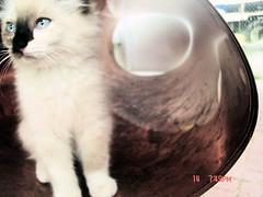 Snowball Kitty (meganmcginley33) Tags: cat kitty œ