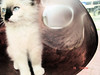Snowball Kitty (meganmcginley33) Tags: cat kitty œ