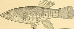 Anglų lietuvių žodynas. Žodis mayfish reiškia marinas lietuviškai.