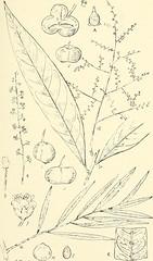 Anglų lietuvių žodynas. Žodis harpullia reiškia arpulija lietuviškai.