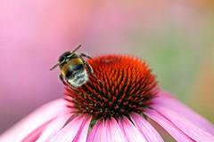 Bee on Coneflower (Mah Nava) Tags: pink summer flower echinacea sommer bee coneflower blume  biene  sonnenhut   kleinflottbek botanischergartenhamburg beeonconeflower lokischmidtgarten