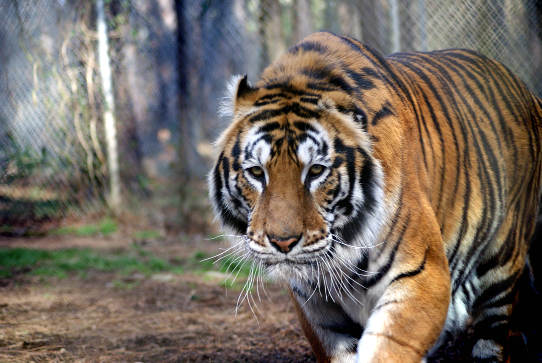 Christian Tiger | Carolina Tiger Rescue