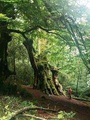 rboles gigantes / Superlative trees (Rubn Daz Caviedes) Tags: trees espaa tree forest spain rboles bosque rbol beech cantabria haya beechforest valledecaburniga montea rbolesgigantes superlativetrees