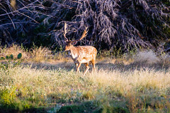 Spotted Fallow on the Stroll (GizmoPhoto.co) Tags: ranch nature beautiful animal nikon texas walk wildlife south deer spotted nikkor 70300mm stroll fallow 70300 d600 pamandan