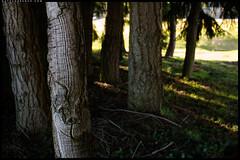 Nice bark (Nathan Branch) Tags: leica trees newzealand nature 35mm otago treebark arrowtown leicam240