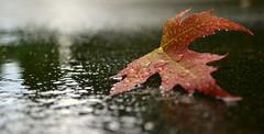 transition (joy.jordan) Tags: light color leaf bokeh raindrops