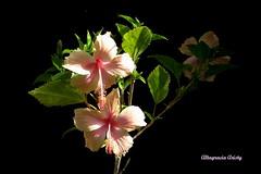 Luz y Sombra Natural/Natural Light and Shadow (Altagracia Aristy Sánchez) Tags: flowers flores flower américa flor hibiscus hibisco tropic caribbean antilles laromana cayena caribe repúblicadominicana caraïbe trópico antillas quisqueya dominicanrepubublic altagraciaaristy fujifilmfinepixhs10 fujihs10 fujifinepixhs10