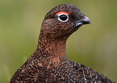 Red Grouse. (jimbrownrosyth) Tags: