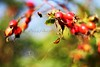 Making a thing of beauty without too much thought about what it means... (ggcphoto) Tags: autumn ireland red green 50mm dof bokeh tipperary rosehips storypeople brianandreas beautiy canoneos600d eosrebelt3i
