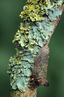 Ledra aurita - Oorcicade
