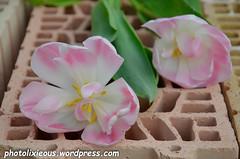 Blume auf Ziegelmauerstein_2 (indrakaldewey) Tags: flora natur rosa blumen gelb grn blume blte morgen morgens tulpe botanik aufblhen gewchs weis bltenkopf tulpenblatt ziegelmauerstein