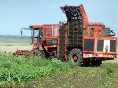 Zuckerrübenernte (HITSCHKO) Tags: landwirtschaft ernte vojvodina banat vollernter zuckerrüben serbien vršac erntemaschine вршац werschetz vârșeț okrugjužnibanat
