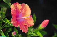 Hibiscus353 (mcshots) Tags: california flowers summer plants usa floral beauty garden flora stock socal hibiscus greenery blooms mcshots tropicals losangelescounty