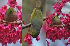 Triptych Birds in Christchurch (mpp26) Tags: newzealand bird three triptych native trio silvereye waxeye tahou selfintroduced