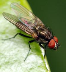 male bean seed fly (ophis) Tags: diptera calyptratae muscoidea anthomyiidae delia deliaplatura beanseedfly seedcornmaggot