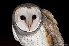 Eastern Barn Owl (chrissteeles) Tags: bird freeling owling nirding easternbarnowl barnowlowlsouthaustraliaraptor