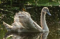 Lelijk eendje word mooie zwaan. (5300foto) Tags: holland bird nature netherlands animals duck swan nikon nederland 70200 eend zwaan birdspotting birdspotter d7000