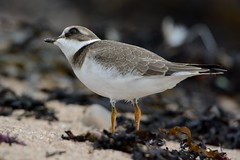 Eye To The Sky. (stonefaction) Tags: nature birds scotland angus wildlife plover ringed westhaven carnoustie