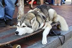 Life is Exhausting (Read2me) Tags: street dog pet game animal relaxing tired skateboard x2 bigmomma gamewinner challengeyouwinner challengegamewinner friendlychallenges thechallengefactory yourockunam agcgwinner yourockunanimous superherowinner storybookotr pregamesweepwinner pregameduel challengeclubwinner x2sweep