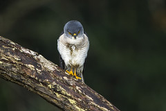 Frances' Goshawk - Andasibè - Madagascar_S4E7879 (fveronesi1) Tags: africa birds madagascar hawks francesgoshawk eastmadagascar accipiterfrancesciae