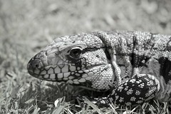 Black and White- Blue Tegu (Gerard Durieux) Tags: old trip light summer blackandwhite brown white abstract reflection art beach nature water beautiful animal yellow wall canon lens landscape photography photo blackwhite amazing eyes perfect pretty paradise day glow view puertorico reptile awesome reserve palace best retro arctic explore sanjuan photograph popular 28135mm beatiful photooftheday picoftheday 2014 increible explored canon7d