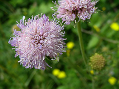 jdy189 bpl scabiosa columbaria epl blo UK Pangbourne&Tidmarsh elo XX20070708a1250-2.jpg (rachelgreenbelt) Tags: uk greatbritain england mix europe unitedkingdom berkshire scabious scabiosa pincushionflower pangbourne floweringplants dipsacaceae magnoliophyta eudicots asterids dipsacales familydipsacaceae orderdipsacales spermatophytes pangbournetidmarsh dipsacalesorder asteridsclade campanulidsclade dipsacaceaefamily genusscabiosa scabiosagenus