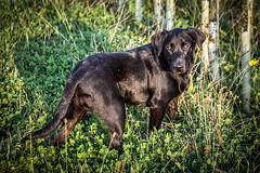WHOS LOOKING AT YOU (David Joyce 581) Tags: dog pet black field frank labrador