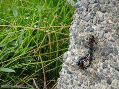 Huge dragonflies mating (knowneuropean) Tags: insect dragonflies dragonfly mating dragonflymating
