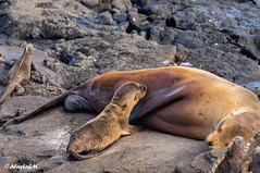 Baby Sea Lion (AlaskaGM) Tags: ocean life travel sea wild baby beach nature beauty animal mammal island coast milk ecuador sand pretty child wildlife lion young mother galapagos seal aquatic sealion