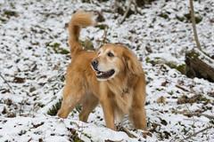 "11/52 George - ""Winter Storm"" Stella (J Helsel) Tags: 52weeksfordogs goldenretriever winterstormstella dog pet thedailygolden snow nature ef50mmf14usm"