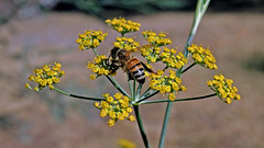 Bee on Anethum flowers (AlfredSin) Tags: alfredsin nikonp7800 anethumgraveolens dill australianflowers australianplants weeds australianweeds bee insects