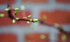 Twisting Branch & Buds (Orbmiser) Tags: 55200vr d90 nikon oregon portland winter bush branch buds twisting
