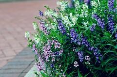 (LeanneRichelle) Tags: outside purple purpleflowers flowery bright brightflowers brick street flowerbrick purpleandwhite happyflowers floral