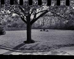 'Le Dejeuner sur l'Herbe' April 2017 (garethdavies486) Tags: alexandragardenscardiff filmscannerapp handrolled828film 828format 828 ilfordpan100 anastonlens kodakanastonlens kodakbantamcolorsnap