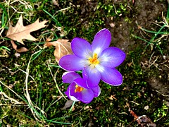 Here comes the Sun #HappyWeekend (RenateEurope) Tags: plant flora flowers crocus violet spring 2017 iphoneography renateeurope awesomeblossoms