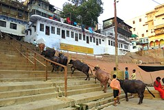 Back home for the night  .... (Mary Faith.) Tags: cattle milk housing farm india varanasi stairs climb cow herd domestic ghats exercise indoorssteps