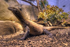 varanus komodoensis (Joachim S. Müller) Tags: animal germany deutschland zoo dragon hessen reptile frankfurt monitor lizard hdr frankfurtammain tier komodo echse drache reptil komododragon monitorlizard waran frankfurterzoo varanus komodowaran zoofrankfurt komododrache varanuskomodoensis komodomonitor komodoislandmonitor kommodowaran tamronaf18270mmf3563
