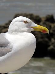 morocco (gerben more) Tags: sea bird rock seagull morocco marokko essouira