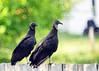 176/365: North American black vulture (Coragyps atratus) (Stephen Little) Tags: mirror reflex aves mirrored blackvulture coragypsatratus animalia coragyps chordata catadioptric cathartidae incertaesedis americanblackvulture catratus minoltaaf500mm minolta500mmf8 northamericanblackvulture minoltaaf500mmf8 sonya77 minolta500mm jstephenlittlejr slta77 sonyslta77 sonyslta77v sonyalphaslta77v caatratus