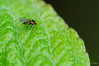 Mouche Mieuse - Leaf-Miner Fly - Liriomyza Sativae (Krapô) Tags: macro nature insect fly nikon tamron insecte mouche d90 liriomyza