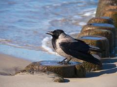 Aaskrhe (Corvus corone) am Ostseestrand von Bansin (Luminator-Blickwinkel) Tags: rabenvogel nebelkrhe krahe aaskrhecorvuscorone nebelkrhenmorphe