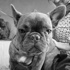 Bat Dog (Marco Di Fabio) Tags: blackandwhite dog white black blanco cane race fur french negro bat ears bulldog perro frenchbulldog leash frances bianco blanc nero franais pipistrello biancoenero muzzle pelo pedigree murcielago muso correa raza purebred bozal francese razza orejas bulldogfrances bouledoguefranais bouledogue orecchie guinzaglio pedegr