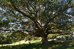 Small-leaved Fig (dustaway) Tags: winter sun tree landscape countryside shadows butt australia ficus nsw trunk crown treebark branching buttressing australianflora moraceae northernrivers australiantrees ficusobliqua smallleavedfig